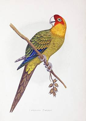 Extinct Carolina Parrot Parakeet America Print by Paul D Stewart