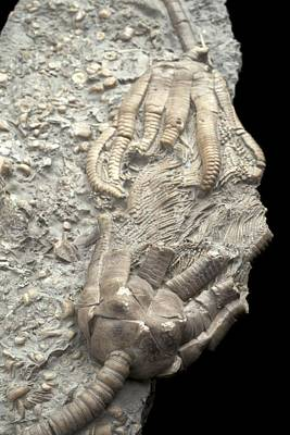 Triassic Photograph - Extinct Crinoids by Science Photo Library