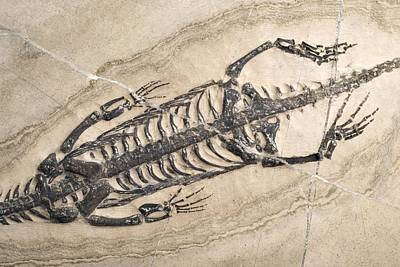 Triassic Photograph - Extinct Reptile Skeleton by Science Photo Library