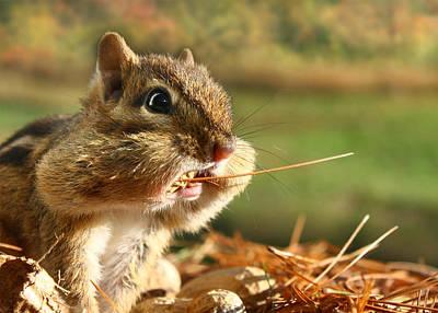 Chipmunk Photograph - Extra Fiber by Lori Deiter
