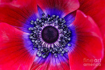 Extreme Macro Of A Red Anemone Poppy Art Print by Oscar Gutierrez