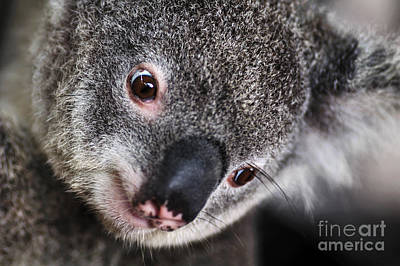 Marsupial Photograph - Eye Am Watching You - Koala by Kaye Menner
