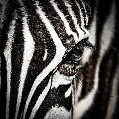 Zebra Photograph - Eye Contact by Mike Gaudaur