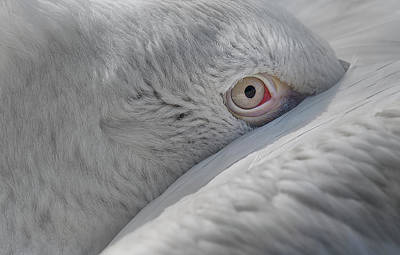 Pelican Wall Art - Photograph - Eye by C.s. Tjandra