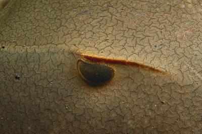 Limulus Polyphemus Photograph - Eye Of A Horseshoe Crab by Andrew J. Martinez