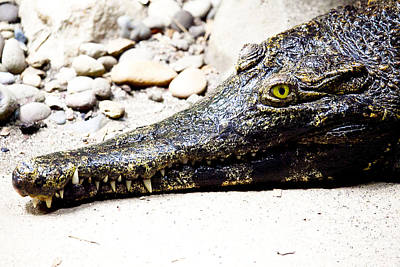 Photograph - Eye Of The Croc by Rich Collins