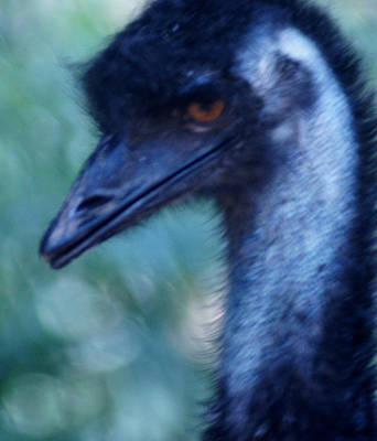 Eye Of The Emu Art Print by DerekTXFactor Creative