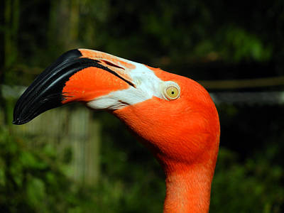 Photograph - Eye Of The Flamingo by Bill Swartwout Photography