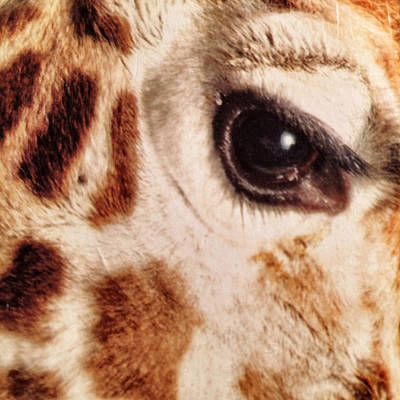 Eye Of The Giraffe Art Print by Patricia Januszkiewicz