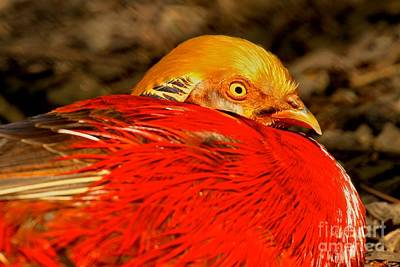 Photograph - Eye Of The Golden Pheasant by Adam Jewell