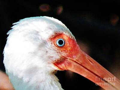 Photograph - Eye Of The Ibis by Judy Via-Wolff