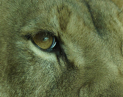 Lion Photograph - Eye Of The Lion by Ernie Echols