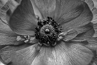 Photograph - Eye Of The Ranunculus by Beth Akerman