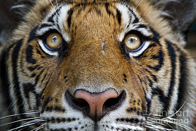 Photograph - Eye Of The Tiger by Dennis Hedberg