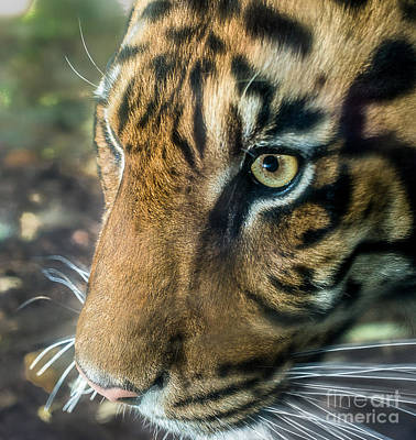 Photograph - Eye Of The Tiger by Ray Warren