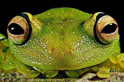 Photograph - Eye-ringed Bushfrog by Dante Fenolio