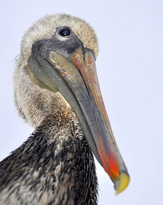 Photograph - Eyed By A Pelican by AJ  Schibig