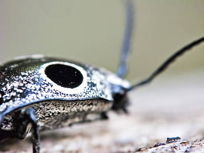 Little Mosters - Eyed Click Beetle by Francis Sullivan