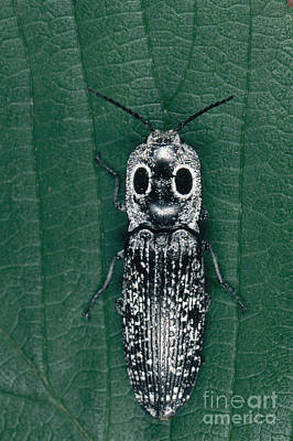 Photograph - Eyed Click Beetle by Scott Camazine
