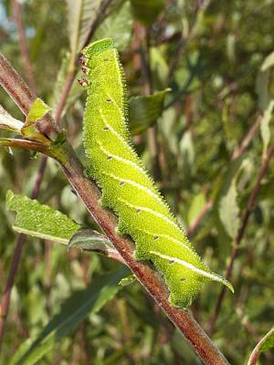 Fauna. Bright Photograph - Eyed Hawk-moth Caterpillar by Power And Syred