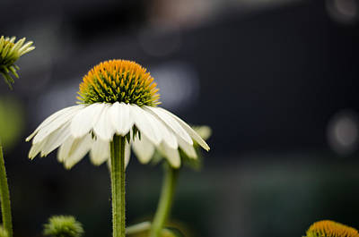 Coneflower Photograph - Eyeing The Flowers by Heather Applegate