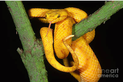 Photograph - Eyelash Viper by Art Wolfe