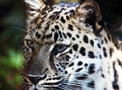 Photograph - Eyes Of A Big Cat by John Rizzuto