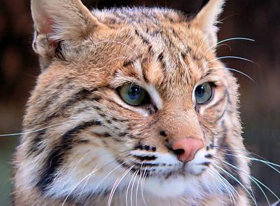 Eyes Of A Lynx Art Print