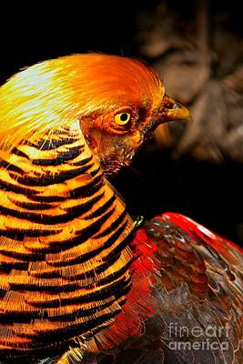 Photograph - Eyes Of The Golden Pheasant by Adam Jewell