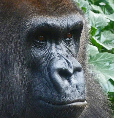 Photograph - Eyes Of The Gorilla by Margaret Saheed