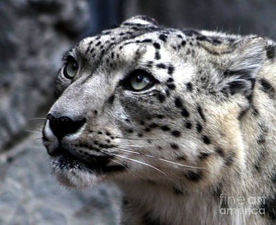 Snow Cat Photograph - Eyes Of The Snow Leopard by Nick Gustafson