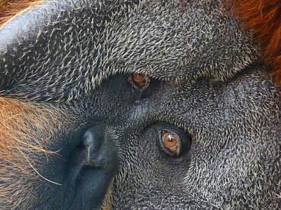 Photograph - Eyes Of The Sumatran Orangutan  by Margaret Saheed