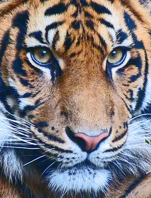 Photograph - Eyes Of The Sumatran Tiger by Margaret Saheed