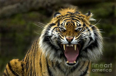 Feline Photograph - Eyes Of The Tiger by Mike  Dawson