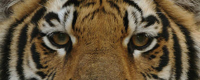 Eyes Of The Tiger Print by Sandy Keeton