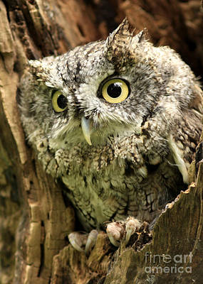 Eyes Of Wisdom Eastern Screech Owl In Hollow Tree Art Print by Inspired Nature Photography Fine Art Photography