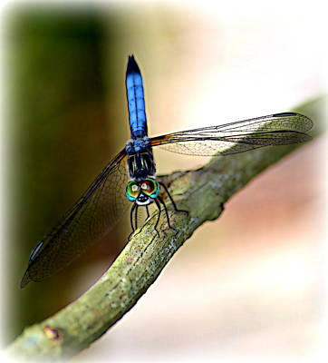 Eyes On You Dragonfly Art Print by Sheri McLeroy