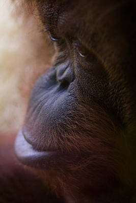 Orangutan Photograph - Eyes by Shane Holsclaw