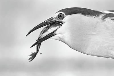 Herons Photograph - Eyes by Sufang Wang
