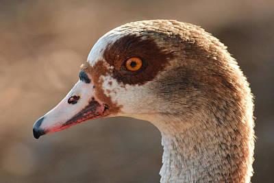Photograph - Eygyptian Goose by Alan Lenk