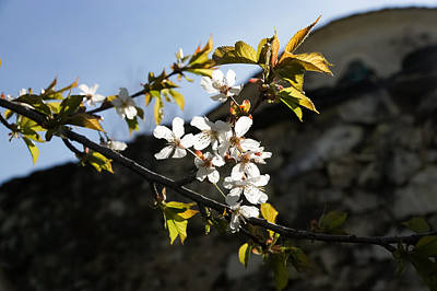 Photograph - Facades And Fruit Trees - The Church And The Plum by Georgia Mizuleva