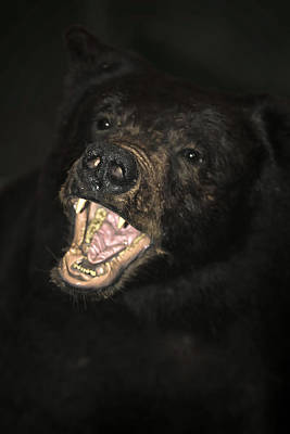 Photograph - Face Off With An Angry Bear by John Haldane