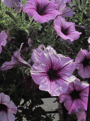 Photograph - Faces Of Petunias by Guy Ricketts