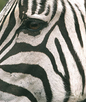 Photograph - Facial Stripe Pattern And Eye by Natures Images Inc