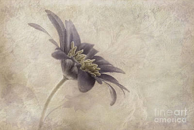 Anemone Photograph - Faded Beauty by John Edwards