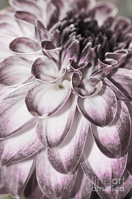 Photograph - Faded Dahlia by Sonya Lang