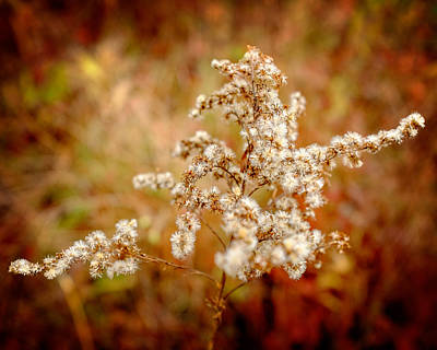 Photograph - Faded Goldenrod  by Chris Bordeleau