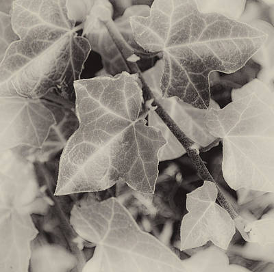 Photograph - Fading Autumn Ivy by Greg Jackson