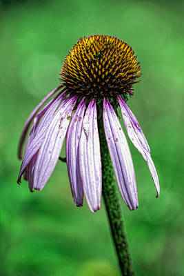 Photograph - Fading Beauty by John Crothers
