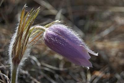Photograph - Fading Pasqueflower by Dakota Light Photography By Dakota